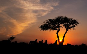 Picture the sky, the sun, clouds, light, sunset, nature, tree, the evening, Cheetah, Savannah, Africa, wild …