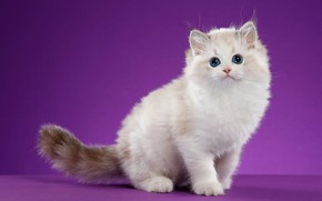 Picture cat, look, pose, kitty, background, lilac, muzzle, kitty, blue-eyed, Studio