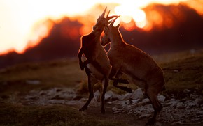 Picture light, sunset, pose, jump, the game, goat, pair, goats, bokeh, goats, goat, goats, два козла