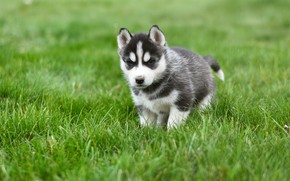 Picture greens, grass, pose, background, dog, baby, puppy, walk, face, lawn, husky, Siberian husky