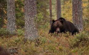 Picture autumn, forest, look, face, trees, nature, pose, bear, brown bear, Peeps