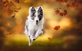 Picture autumn, leaves, dog, blur, running, bokeh