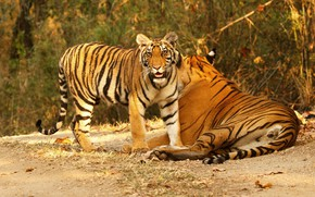 Picture autumn, look, leaves, baby, pair, tigers, tigress, two, tiger, mother