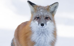 Picture winter, look, face, snow, nature, portrait, Fox, red, snowfall, it covered