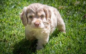 Picture grass, puppy, Spaniel