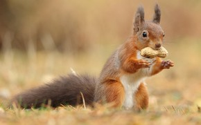 Picture grass, look, nature, background, legs, walnut, protein, red, stand, lunch, rodent, peanuts, meal