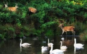 Picture birds, nature, shore, duck, deer, Swan, deer, swans, pond, the herd