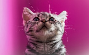 Picture cat, cat, look, kitty, portrait, muzzle, kitty, pink background, looking up