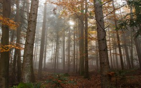 Picture autumn, forest, light, trees, branches, nature, fog, trunks, foliage, morning, pine, Bor, pine
