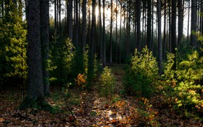 Picture forest, trees, fallen leaves