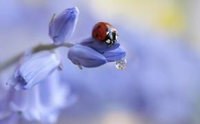 Picture flower, water, macro, nature, drop, ladybug, beetle, buds, Rina Barbieri