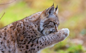 Wallpaper face, yellow, pose, green, background, paw, lynx, sitting, wild cat, bokeh, personal care, cleaning