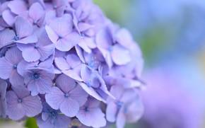 Picture background, hydrangea, purple flowers