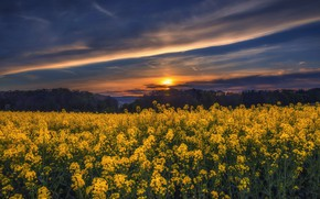 Picture summer, sunset, rape