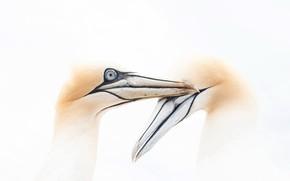 Picture birds, background, Gannets