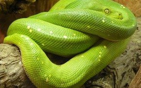 Picture green, snake, animal, python, Python lover