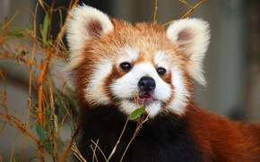 Picture animals, face, nature, portrait, red Panda, zoo, red Panda