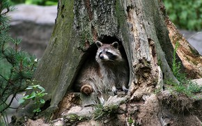 Picture raccoon, the hollow, tree