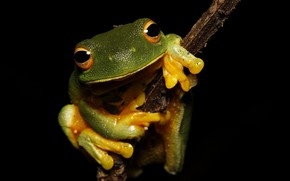 Picture pose, macro, branch, look, frog, legs, black background