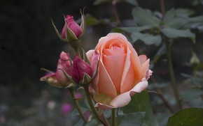 Picture rose, petals, buds