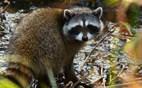 Picture light, shore, raccoon, face, sitting, pond