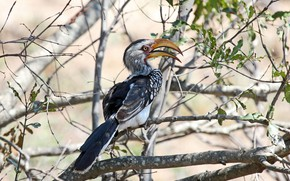 Picture leaves, the sun, trees, branches, nature, bird, feathers, beak, bokeh, Hornbill, Southern Yellow-billed Hornbill, Tockus ...