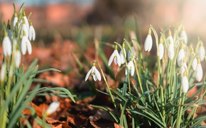 Picture light, flowers, mood, glade, spring, snowdrops, a lot