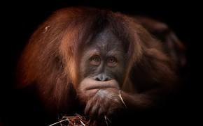 Picture portrait, red, orangutan