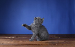 Picture pose, kitty, sitting, blue background, British