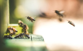Picture macro, bees, blurred background