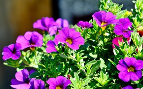 Picture greens, light, flowers, bright, garden, pink, flowerbed, lilac, petunias