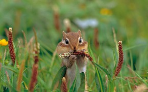 Picture grass, nature, rodent, Asian Chipmunk