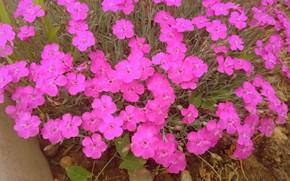 Picture flowers, clove, Meduzanol ©