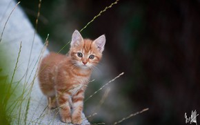 Picture looks, the camera, Ginger kitten