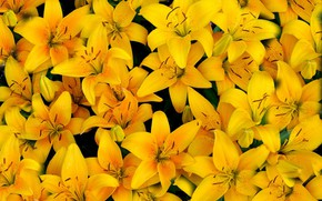 Picture yellow, Lily, petals