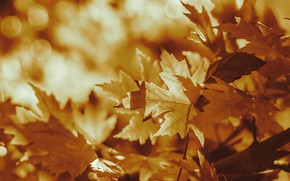 Picture autumn, light, branches, nature, yellow, maple, bokeh, autumn leaves