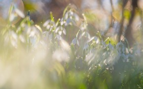 Picture light, flowers, nature, glare, glade, spring, snowdrops, gentle, a lot, bokeh, buds