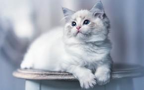 Picture cat, white, kitty, lies, photoart, ragdoll