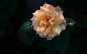 Picture leaves, the dark background, rose, orange