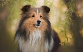 Picture look, face, leaves, branches, portrait, dog, wool, bokeh, Sheltie, Shetland Sheepdog