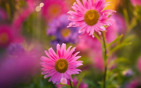 Picture pink, Duo, bokeh, Asters