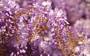 Picture flowers, blur, spring, flowering, inflorescence, lilac, bokeh, Wisteria, Wisteria
