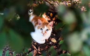 Picture cat, look, leaves, muzzle, cat