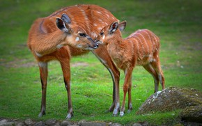 Picture grass, pose, glade, deer, baby, pair, fawn, cub, two, mother, fawn, DOE