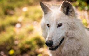 Picture white, look, face, wolf, portrait, bokeh, polar