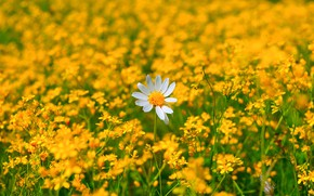 Picture Daisy, Flowers, Flowers, Flowering, Camomile, Flowering