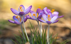 Picture flowers, background, spring, crocuses, company, clearing, lilac