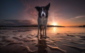 Picture sand, beach, the sky, look, face, water, the sun, sunset, nature, shore, dog, wet, the ...
