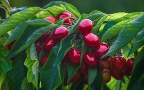 Picture leaves, branches, berries, cherry