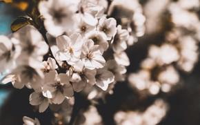 Picture light, flowers, cherry, the dark background, blur, branch, spring, Sakura, white, flowering, bokeh
